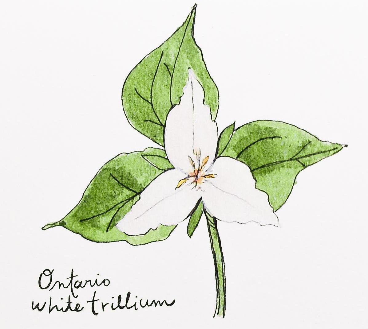 Ontario White Trillium Box Of 8 Field Day Paper